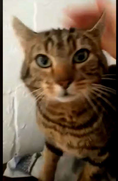 Picture of Nim the Tabby cat